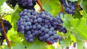 สารสกัดจากเมล็ดองุ่น (Grape seed extract)
