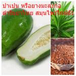 ปาเปน หรือยางมะละกอ ตำรับยาไทย สมุนไพรใกล้ตัว