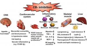 บทบาทของตัวรับ CB1 กับสุขภาพของหลอดเลือด