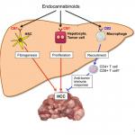ระบบเอ็นโดแคนนาบินอยด์เกี่ยวข้องอย่างไรกับมะเร็งตับ