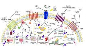 ระบบเอ็นโดแคนนาบินอยด์ ควบคุมสารอนุมูลอิสระ 3 ตระกูลใหญ่ในร่างกาย