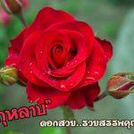 กุหลาบ..ดอกไม้แห่งความรัก