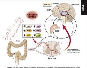 กัญชาทำให้สมองและลำไส้ทำงานเข้าขากันมากขึ้น