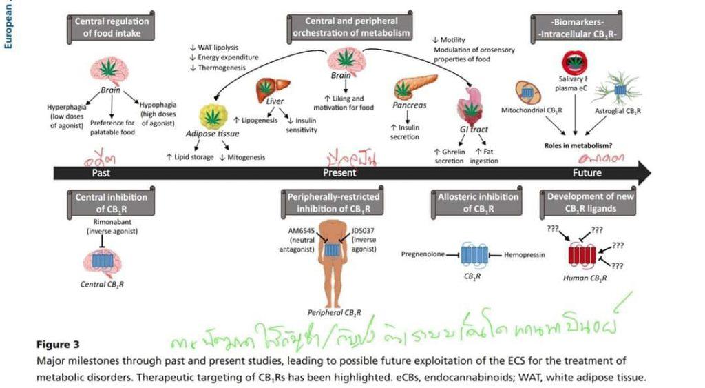 กัญชา กับการพัฒนาเพื่อใช้ในการรักษาโรคทางด้านระบบการเผาผลาญพลังงาน (Metabolism)