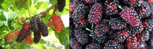 แอนโทไซยานินเป็นรงควัตถุ ที่ให้สีแดง ม่วง และน้ำเงิน พบในผัก ผลไม้ดอกไม้ เช่นลูกหม่อน(mulberry)