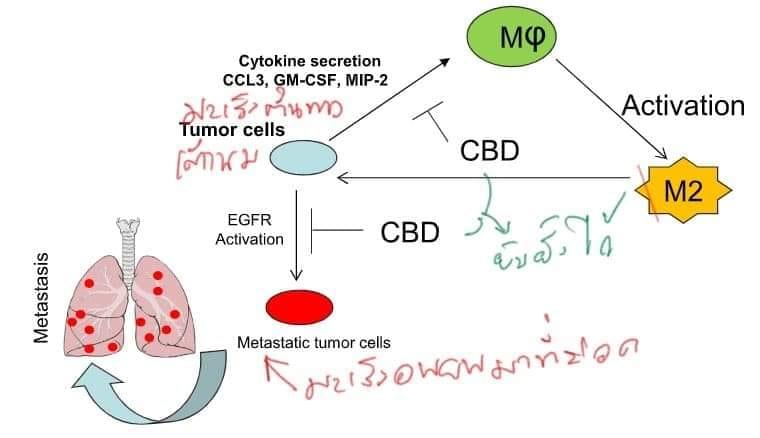 เมื่อกัญชา กัญชง สยบการแพร่กระจายของมะเร็งเต้านมไปยังปอด
