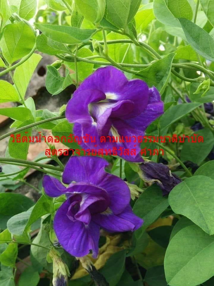วิธีต้มน้ำดอกอัญชัน ตามแนวธรรมชาติบำบัด สูตรอาจารย์สุทธิวัสส์ คำภา