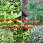 โสมไทย ชื่อสามัญ Fame Flower, Ceylon Spinach, Sweetheart, Surinam Purslane
