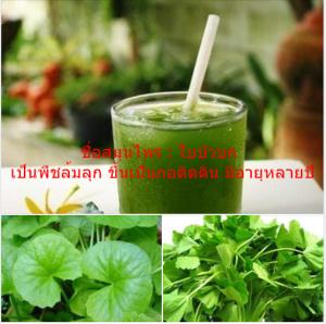 ชื่อสมุนไพร : ใบบัวบก เป็นพืชล้มลุก ขึ้นเป็นกอติดดิน มีอายุหลายปี
