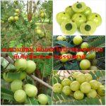 มะขามป้อม เป็นผลไม้ป่าของคนไทยที่เกิดขึ้นเองตามธรรมชาติ