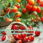 10 ประโยชน์มะเขือเทศราชินี ผลไม้ดี ๆ เพื่อนซี้ของคนรักสุขภาพ