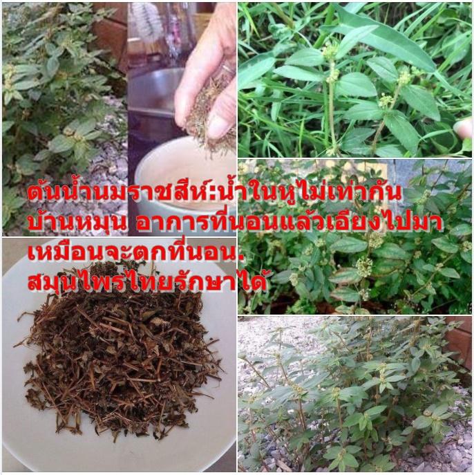 ต้นน้ำนมราชสีห์:น้ำในหูไม่เท่ากัน บ้านหมุน อาการที่นอนแล้วเอียงไปมาเหมือนจะตกที่นอน. สมุนไพรไทยรักษาได้
