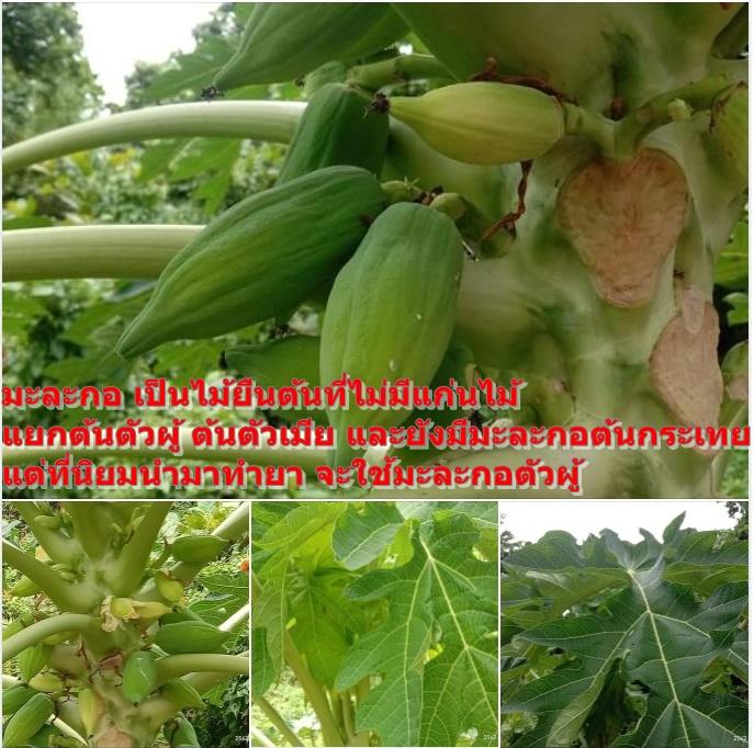 มะละกอ เป็นไม้ยืนต้นที่ไม่มีแก่นไม้ แยกต้นตัวผู้ ต้นตัวเมีย และยังมีมะละกอต้นกระเทย แต่ที่นิยมนำมาทำยา จะใช้มะละกอตัวผู้